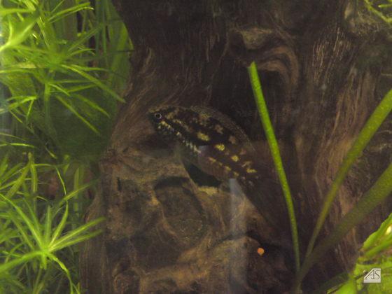 Nannacara Weibchen in Brutfärbung