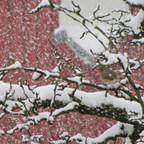 Rotkehlchen im Schneegestöber
