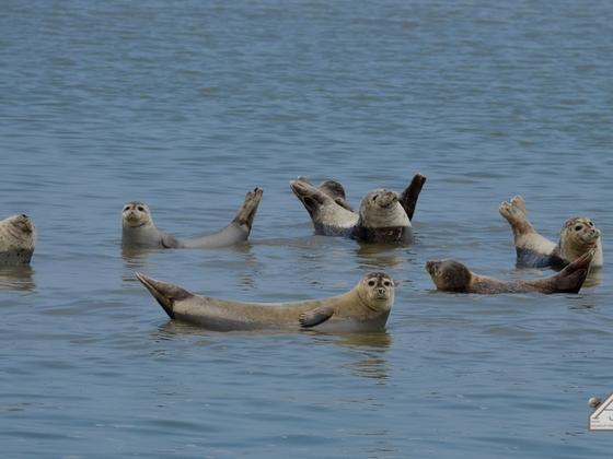 Seehunde vor Langeoog