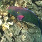 Paradiesfisch in Sharm el Sheikh