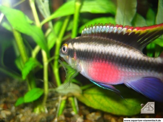 Purpurprachtbuntbarsch(Pelvicachromis Pulcher) - Bruno
