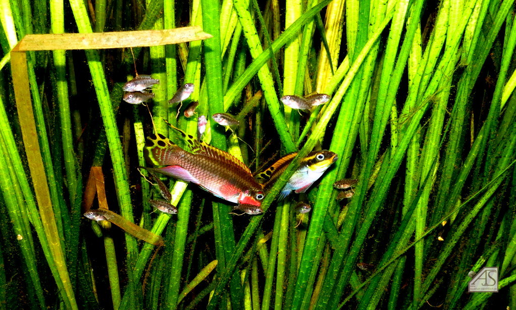 Pelvicachromis taeniata  nigeria red