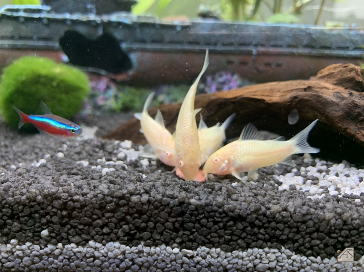 Albino Panzerwelse