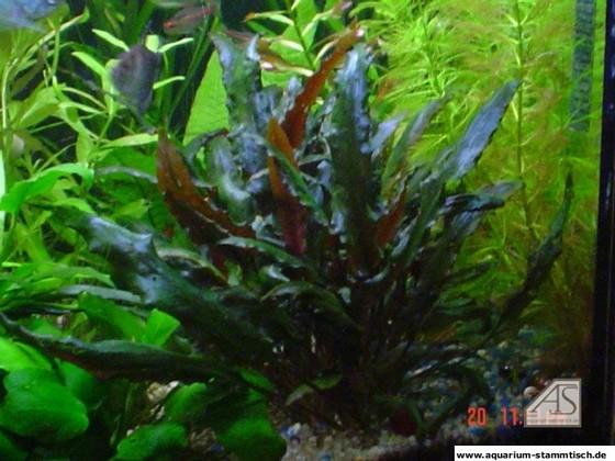 Aquarienpflanze - Nemoline