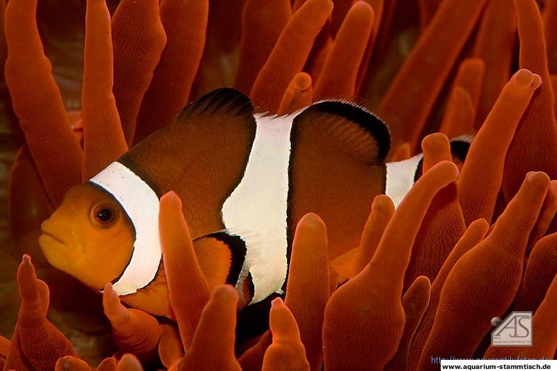 Annemonenfisch, Amphiprion ocellaris