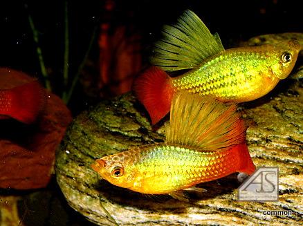 Xiphophorus variatus, Papageienkärpfling