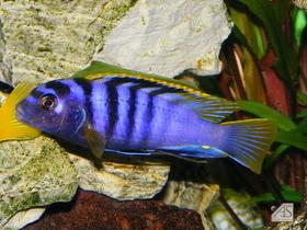 Labidochromis Mbamba Bay.JPG