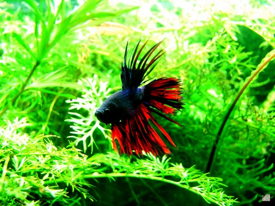Crowntail2