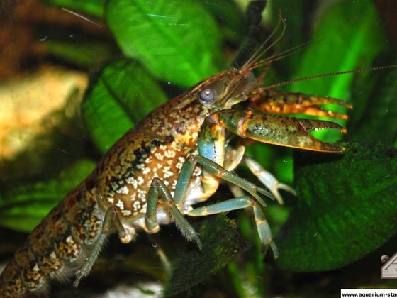 Procambarus spec. (Marmorkrebs) - Roko33