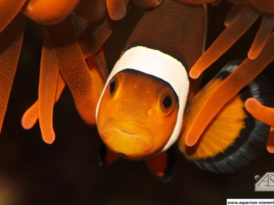 Amphiprion ocellaris
