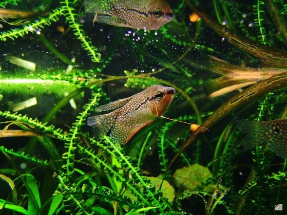 Mosaikfadenfisch Trichogaster leeri