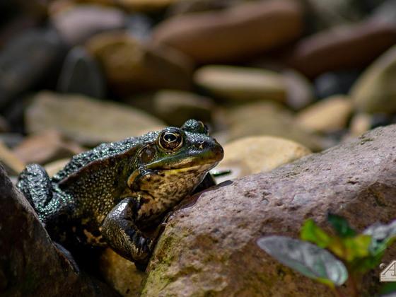 Frosch auf den Steinen am Teich
