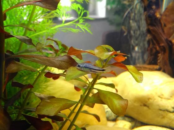 neue Mitbewohner Corydoras Pygmaeus