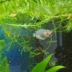 Blauer Zwergfadenfisch-Nachwuchs