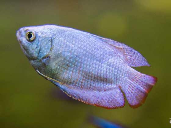 Fadenfisch Männchen