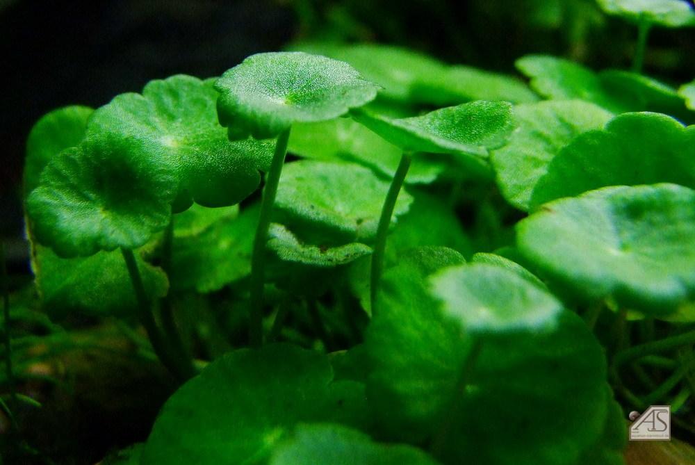 Hydrocotyle verticillata 1