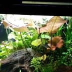 Roter Tigerlotus