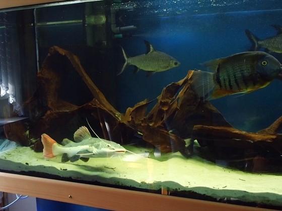 Mein Aquarium - RedtailCatfish