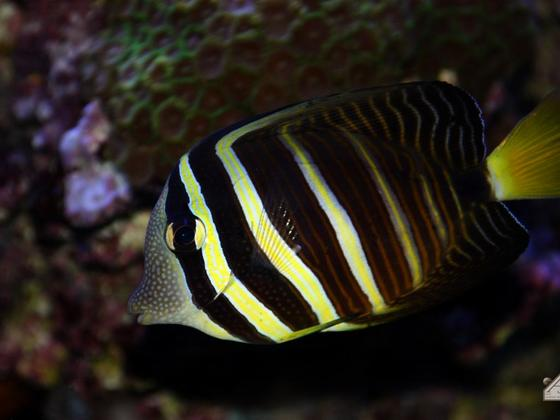 Zebrasoma veliferum - Schweik57