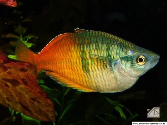 Regenbogenfisch (Uwitsch)