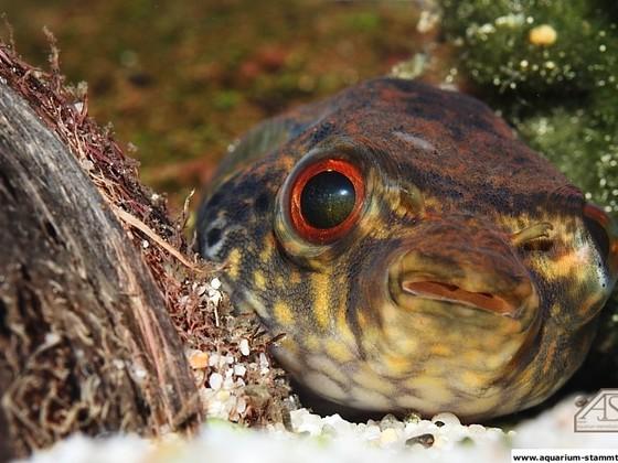 Süßwasser Kugelfisch