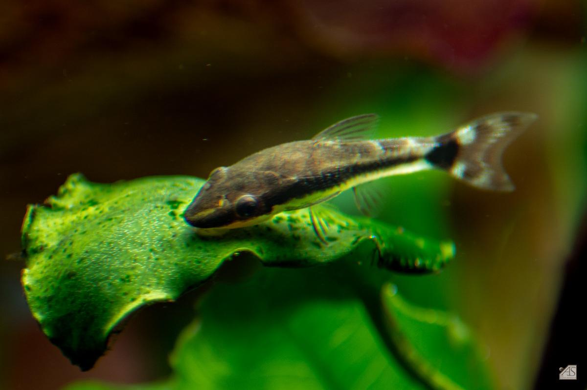 Altes Blatt mit Algen dient als Nahrungsquelle