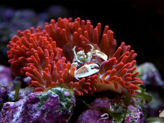 Porzellankrabbe in Kupferanemone