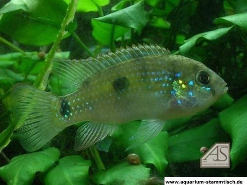 Anomalochromis thomasi - Männchen - KatiG