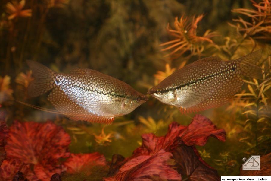 Mosaikfadenfische - Michael H