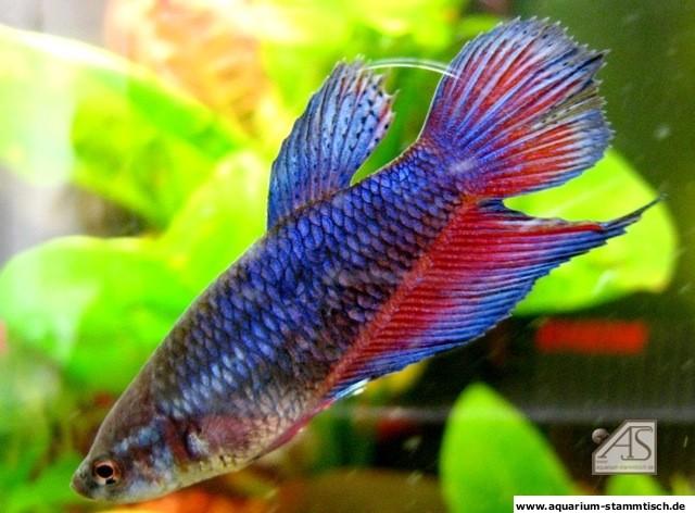 Kampffisch Weibchen können auch schön sein (steelcut)