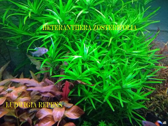 Heteranthera und Ludwigia