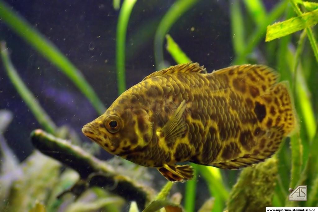 Leopardbuschfisch (Buschfisch)
