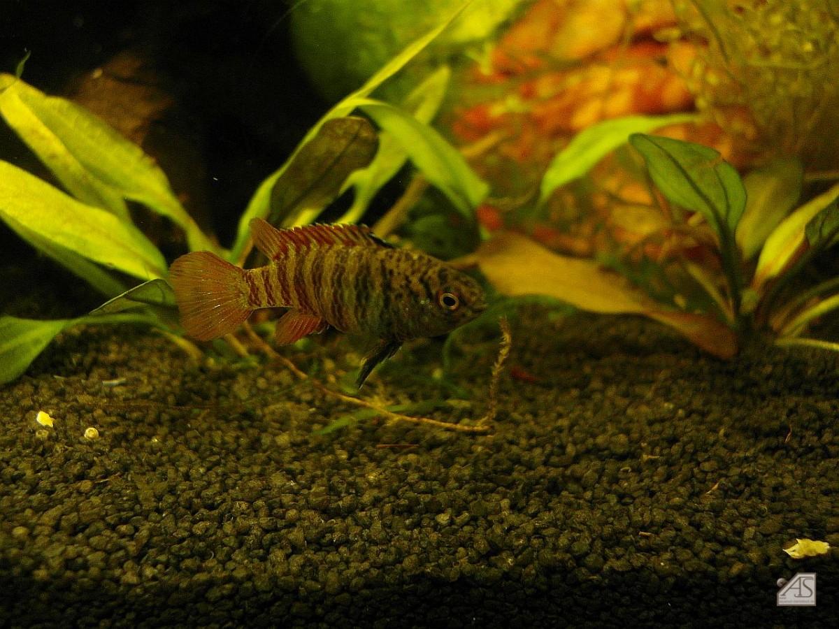 Dario sp. Black Tiger Männchen