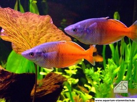 Regenbogenfische (Uwitsch)