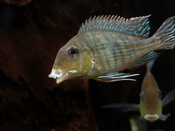 Geophagus Trapajos Red Head