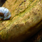 Schnecke beim Algenputz