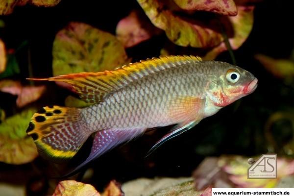 P. taeniatus nigeria red (AndySch)
