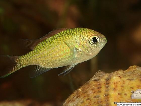 Chromis viridis