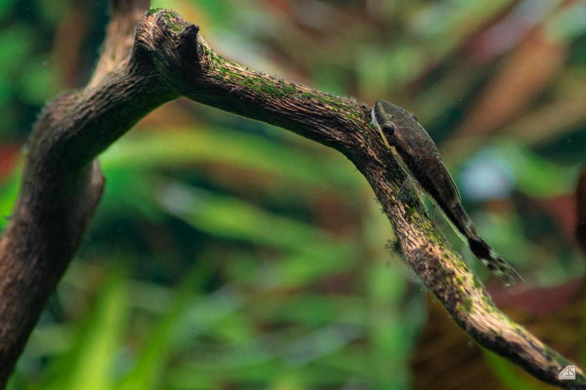 Otto auf einer Wurzel putzt die Algen weg