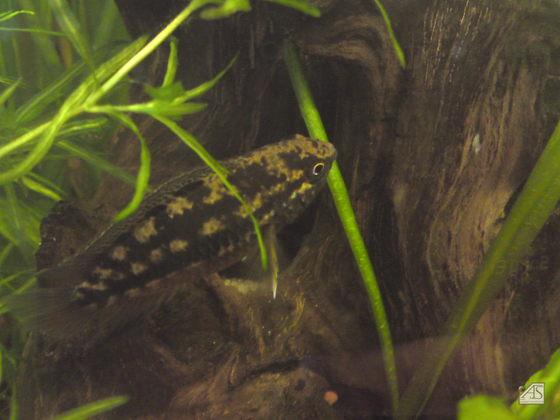 Nannacara Weibchen mit Eiern