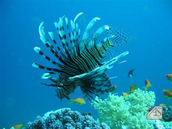 Rotfeuerfisch im Roten Meer