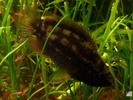 Nannacara Weibchen mit Jungfisch
