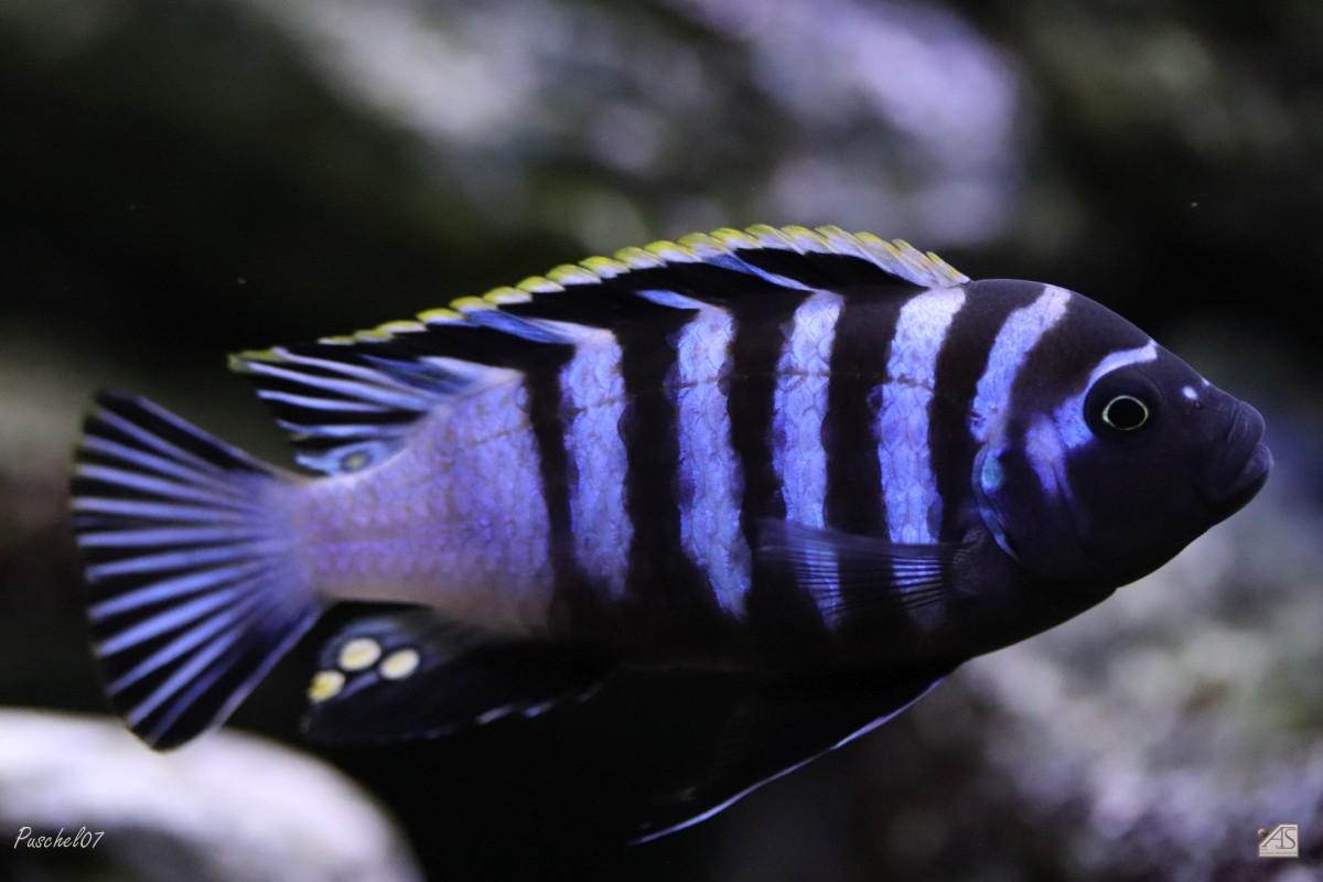Cynotilapia zebroides hai reef