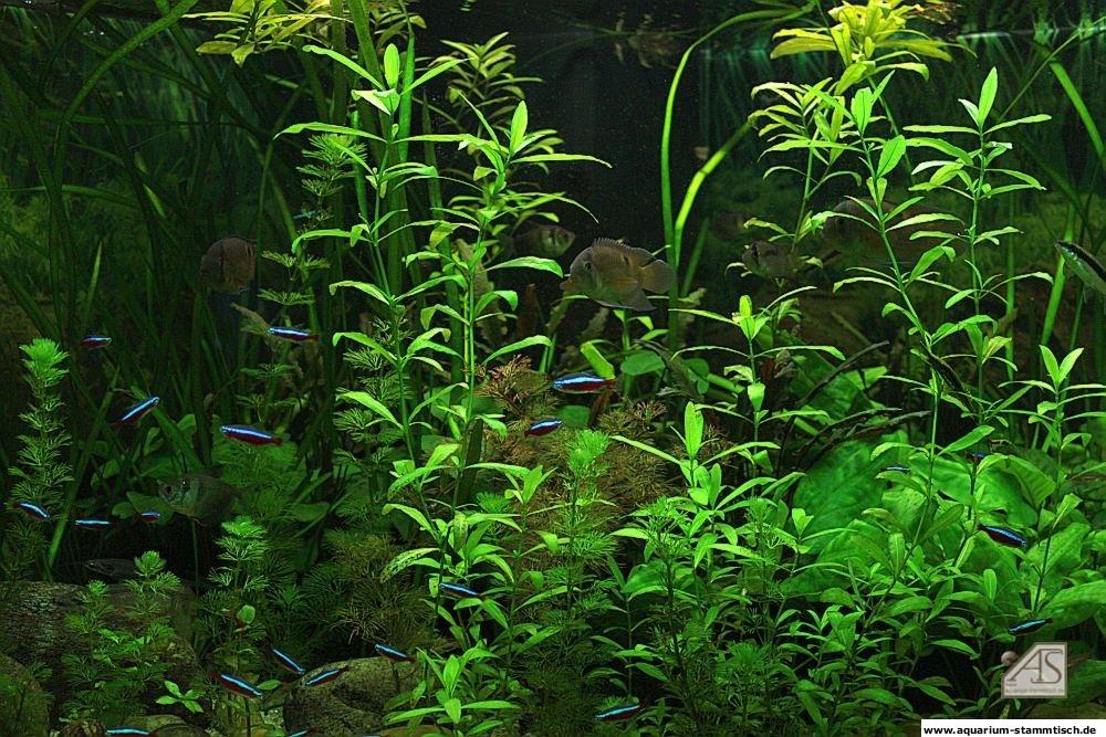 Mein Aquarium - Maroni1