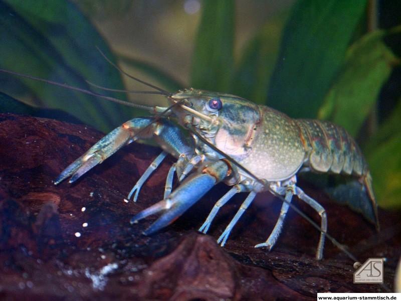 Cherax Quadricarinatus Weibchen - Ferrika