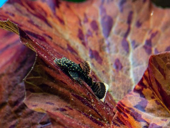 kleiner Antennenwels frist die Algen