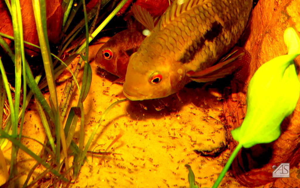 Cichlasoma boliviense mit Jungfischen