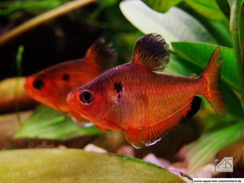 Hyphessobrycon callistus (Uwitsch)