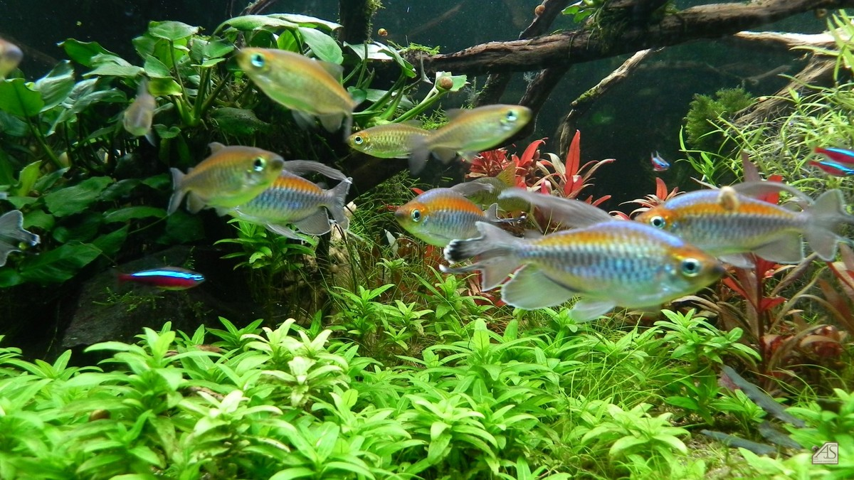 Blauer Kongosalmler(Phenacogrammus interruptus)