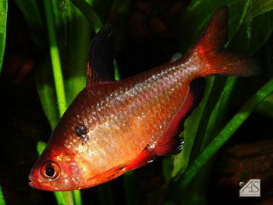 Blutsalmler (Hyphessobrycon eques)
